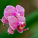 Orchid by zzsuzsa