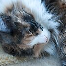 Sleeping Maine Coon Cat by elainejhillson