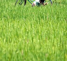 Padi field and bicycle by Phil Bower