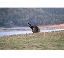 Curious Kangaroo at Wyangala Photographic Print