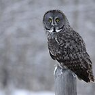 Great Grey Owl Portrait by Ron Kube