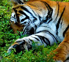 Sleeping Stripes by dgscotland