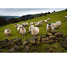 Sheep will eat your lunch, West Yorkshire Photographic Print