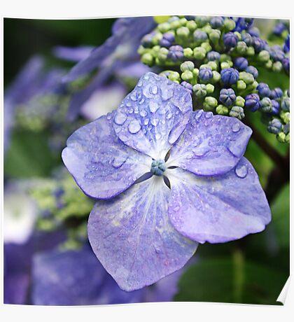 Penzance Rain Flower Poster