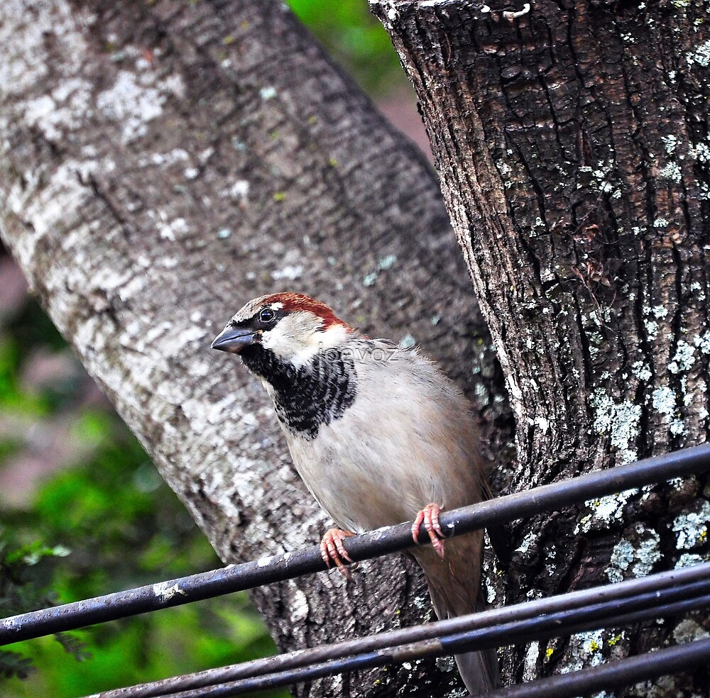 Sparrow on a Wire by joevoz