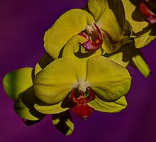 Yellow Orchid with purple background closeup by Brian D. Campbell