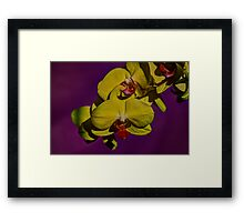 Yellow Orchid with purple background closeup Framed Print