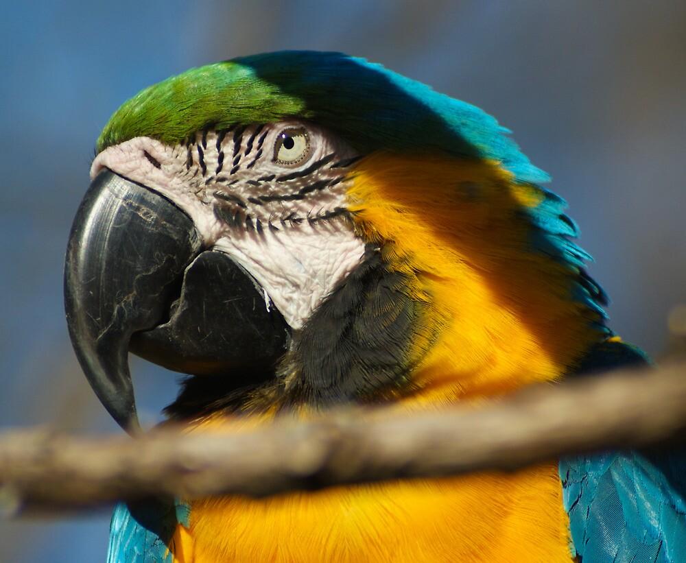 Blue Parrot by Guatemwc