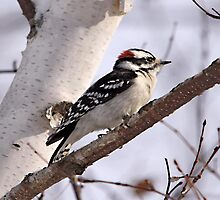 Downy Woodpecker by Vickie Emms
