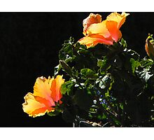 Orange Poppies Photographic Print