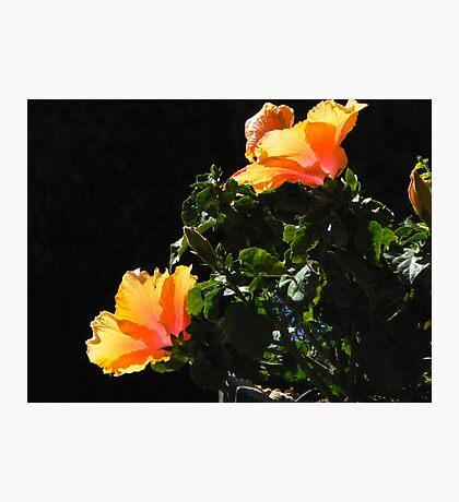 Orange Poppies Photographic Print
