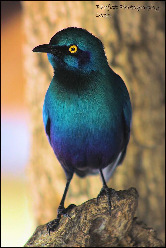 Glossy starling! by Greg Parfitt