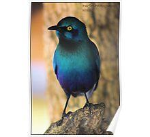 Glossy starling! Poster