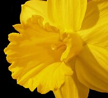 Daffodil Trumpet by vette