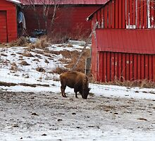 Barn Buffalo by nikspix