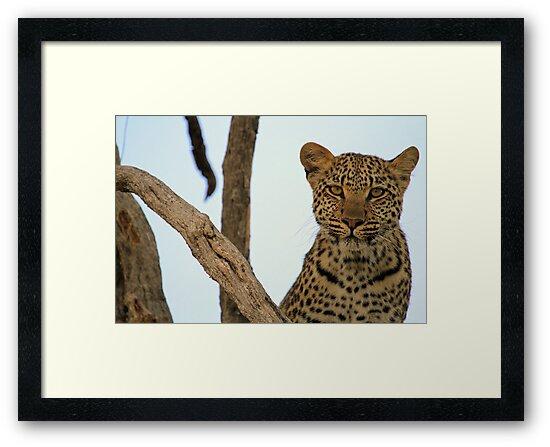 Okavango Leopard by Explorations Africa Dan MacKenzie