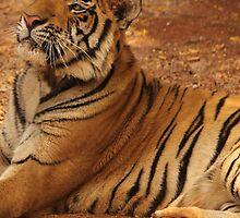 Tiger series 015 by Karl David Hill