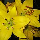 New Oriental Lily, Montafon by Geoffrey Higges