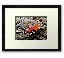 Shaggy Scarlet Cup Mushrooms -  Microstoma floccosa Framed Print