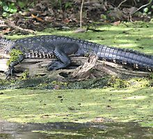 Lazy Gator by Bob Hardy