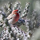 House Finch in Cholla by levipie
