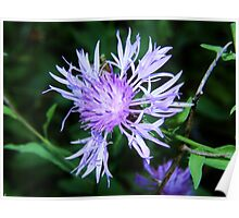 Spotted Knapweed Up Close Poster
