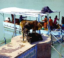 Cows waiting to board a boat in India. by wehavegrown