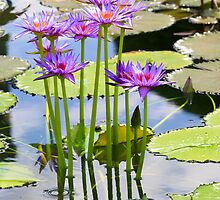 water lily  by torishaa
