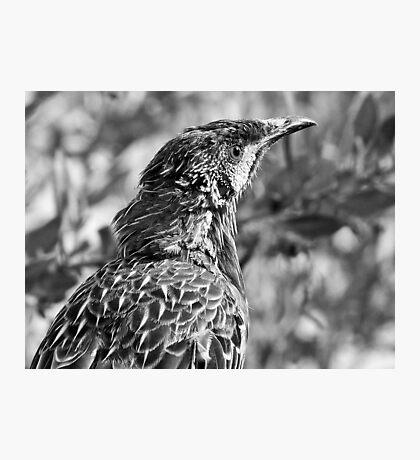 Wattle Bird - Margaret River, Western Australia Photographic Print