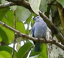 Blue-grey Tanager, Wild Fowl Trust, Trinidad. by santimanitay