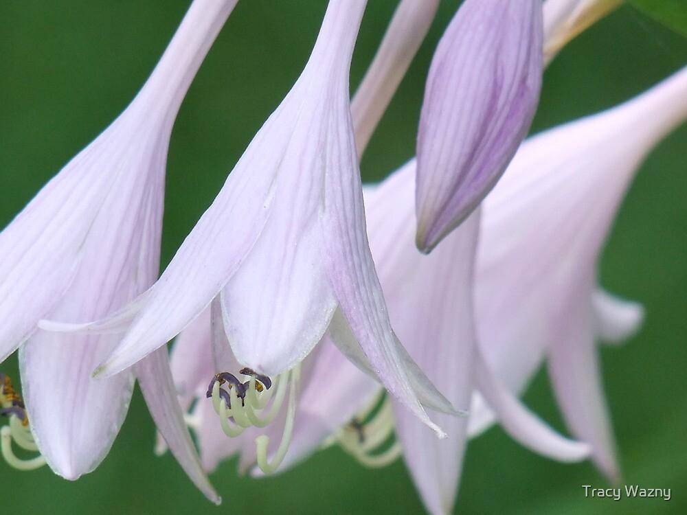 Hosta Blooms by Tracy Wazny