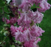 Crape Myrtle Flowers by mindy23