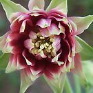 Nora Barlow Columbine by Tracy Faught