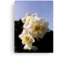 Baby daffodils. Canvas Print