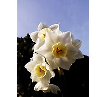Baby daffodils. Photographic Print