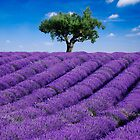 Lavender field and tree by Matteo Colombo