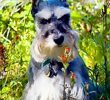Windsor the Schnauzer by Randy Giesbrecht