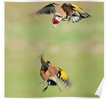 Goldfinches in flight Poster