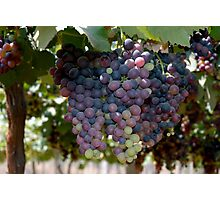 grapes bunch Photographic Print