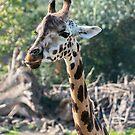 Giraffe by Vac1
