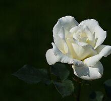 A White Rose by Irina777