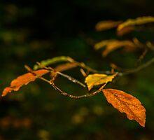 Beech Leaves in autumn by Nick Jenkins