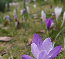 Experiments with Crocuses by Susan Dailey