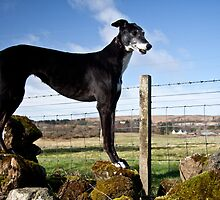 Greyhound by Linda  Morrison