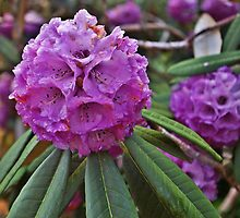 Rhodies by Susan Dailey