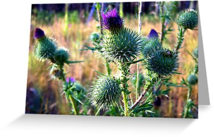 Canadian Thistle by rocamiadesign