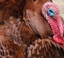 Bourbon Red Domestic Turkey by Edith Reynolds