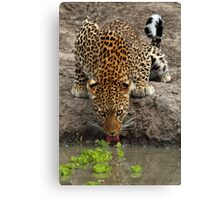 Steely stare Canvas Print