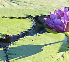 Barre Hellquist Water Lily and its Shadow by Robert Armendariz