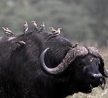 African Buffalo with Oxpeckers by Carole-Anne